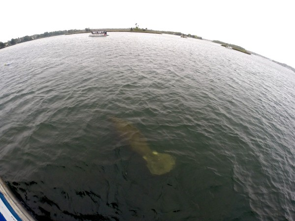 Crystal River Manatee Tail