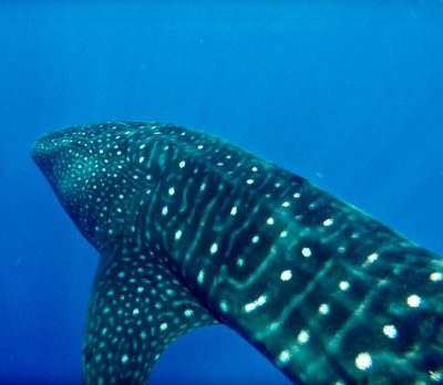 Filming whale sharks with a GoPro