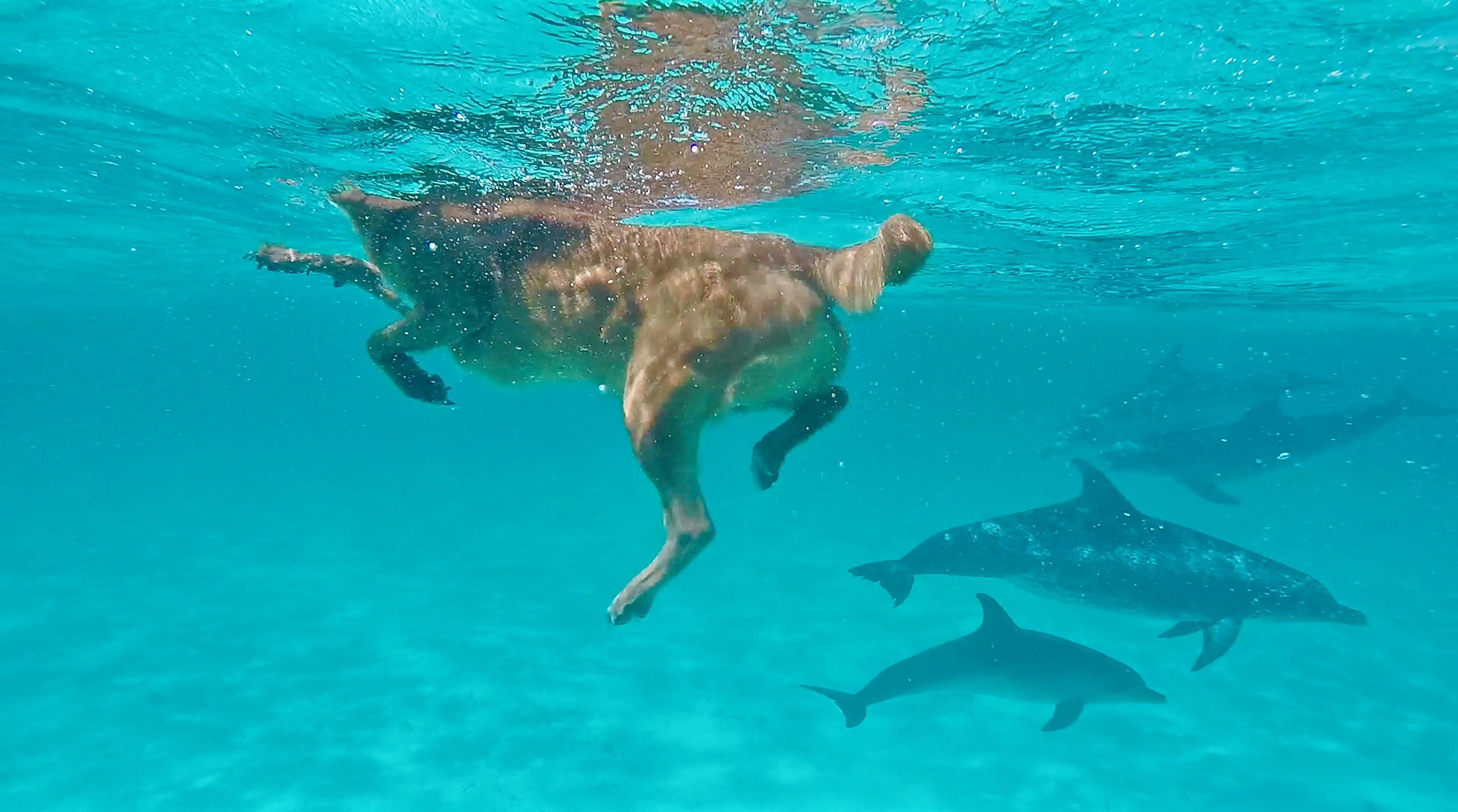 Dog swims with spotted dolphin!