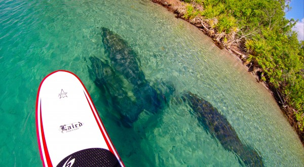 Paddleboarding With Manatees By Coral Cove